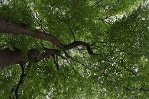 groen bladerdak
